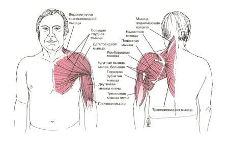 Чем связаны шея и плечо